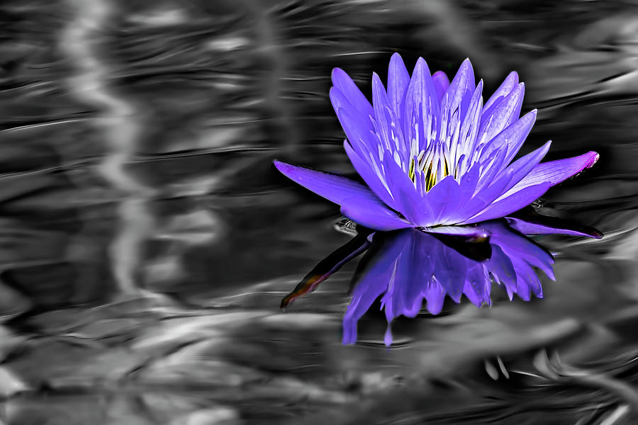 Lovely Lily In Lavender Selective Color by Kay Brewer