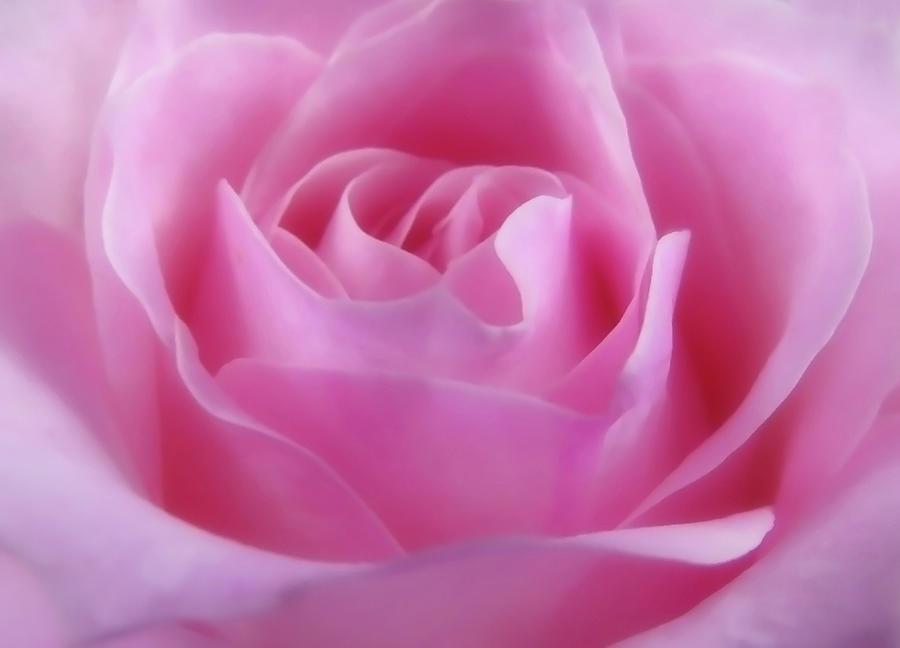 Lovely Pink Rose by Johanna Hurmerinta