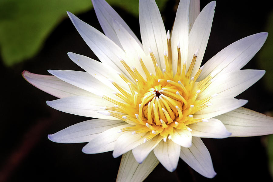 Lovely Water Lily by Don Johnson