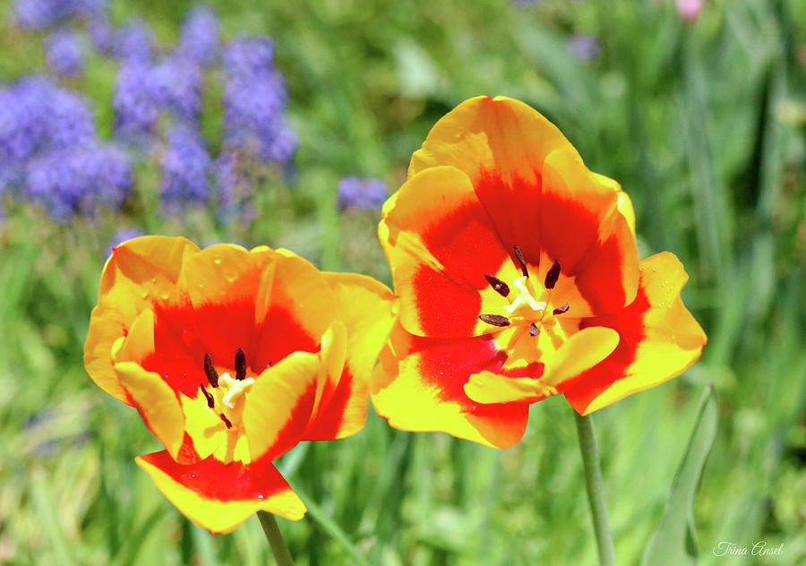 Lovely Yellow and Red Tulips by Trina Ansel