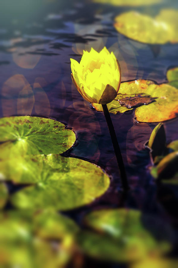 Lovely yellow pond lily photograph by garry gay yellow photograph lovely yellow pond lily by garry gay mightylinksfo