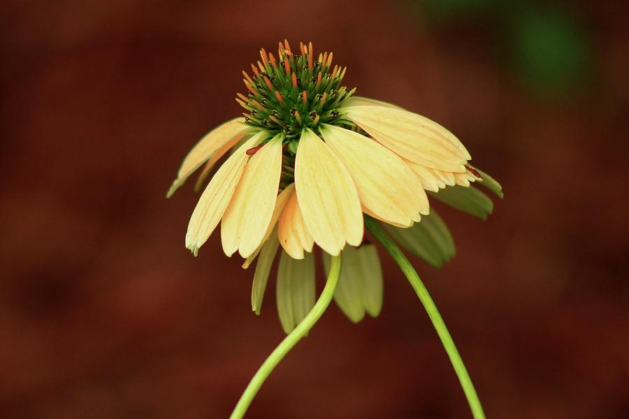 Loving Coneflowers by Kevin Wheeler
