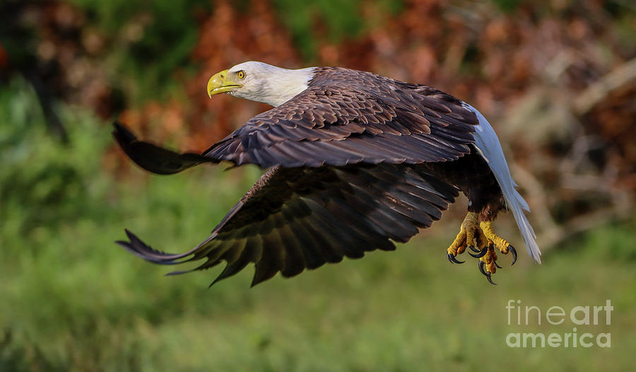 Low Altitude Eagle by Tom Claud