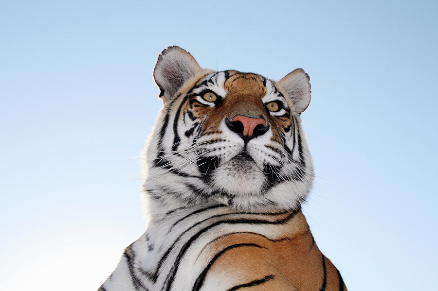 Low Angle View Of A Tiger Panthera Photograph by Jv Images
