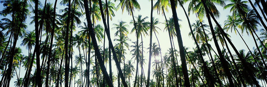 Low Angle View Of Coconut Palm Trees by Panoramic Images