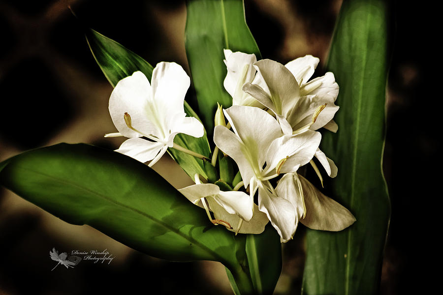 Low Key White Ginger Flower Photograph By Denise Winship