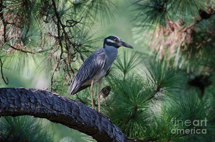 Lowcountry Birds - Yellow Crowned Night Heron by Dale Powell