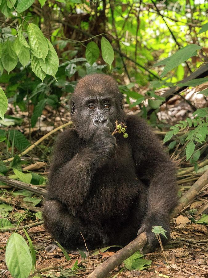 Lowland Gorilla Orphan Photograph by Gerry Ellis