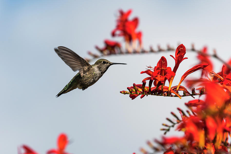 Lucifer Crocosmia and Anna's Hummingbird by Robert Potts