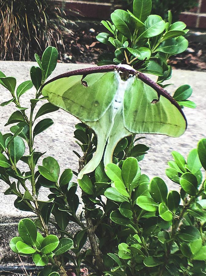 Luna Moth by Kelly Thackeray