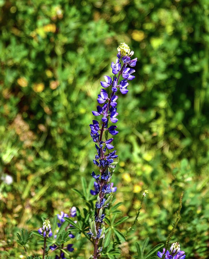 Lupine Flower Photograph