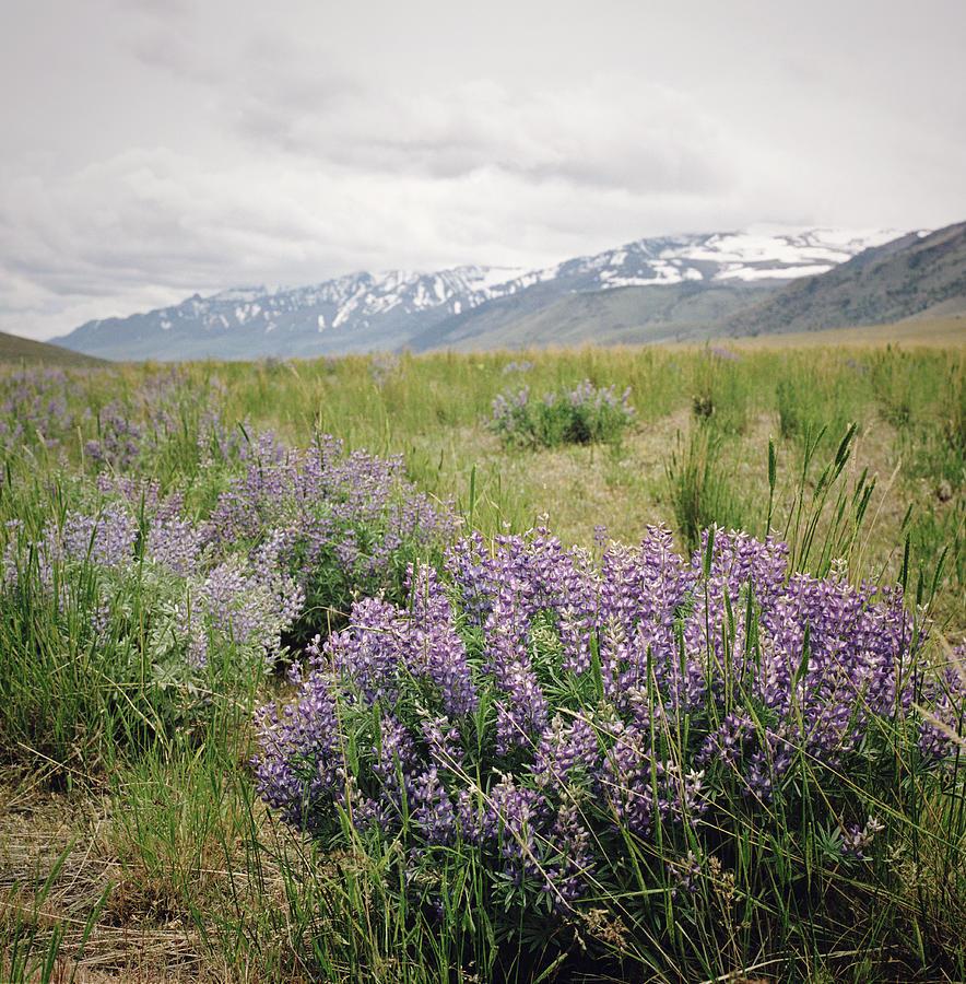 Lupine And Mountain Range Photograph by Danielle D. Hughson