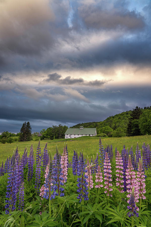 Lupine Barn by Darylann Leonard Photography