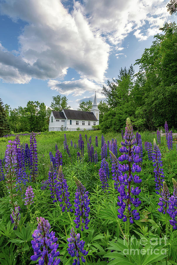 Lupine Bloom at Sugar Hill by Jesse MacDonald