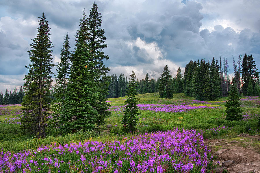 Lupine filled meadow in the Colorado Rockies. by Dave Dilli