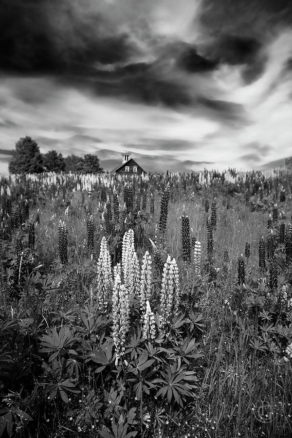 Lupine for Ansel by Patrick Groleau