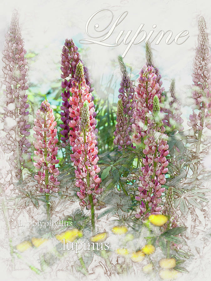 Lupine Graphic by Mark Mille