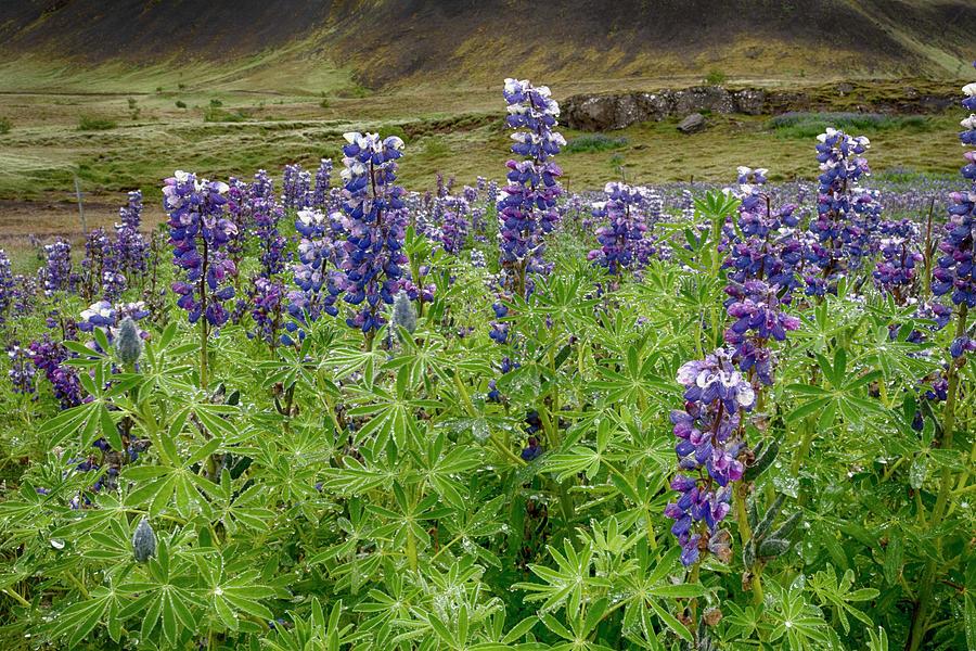 Lupine Iceland 6261901 by Rick Veldman