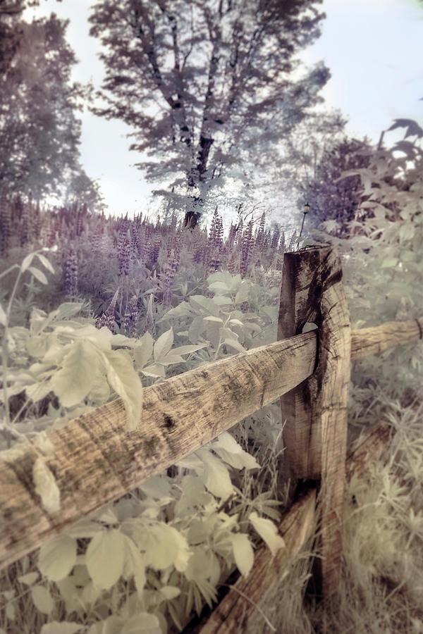 Lupine in a Field - Sugar Hill, NH by Joann Vitali