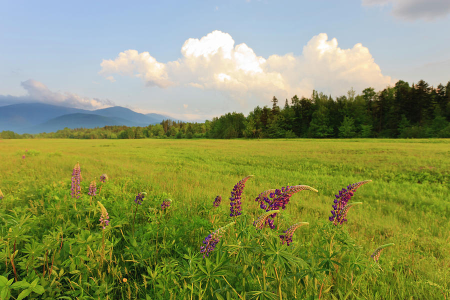 Lupine Lupinus In The White Mountains Photograph by Danita Delimont