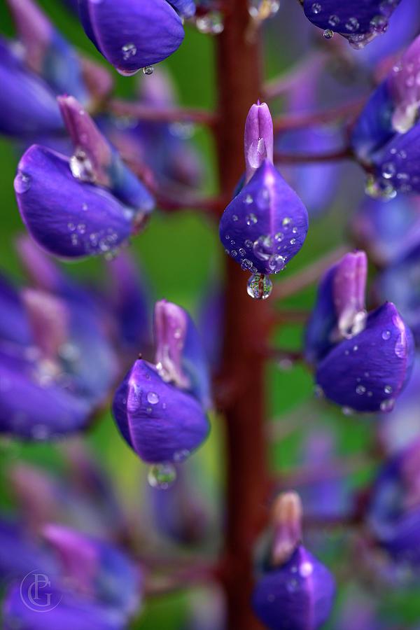 Lupine Purple by Patrick Groleau