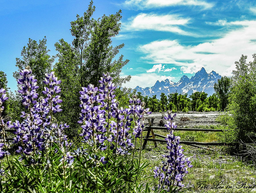 Lupine Splendor by Teri Lee