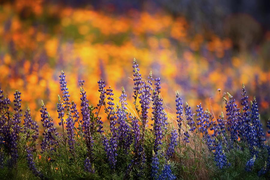 Arizona Photograph - Lupine Sunset  by Saija Lehtonen