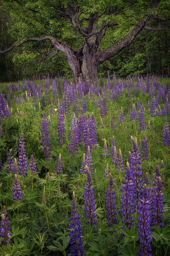 Lupine Tree by Darylann Leonard Photography