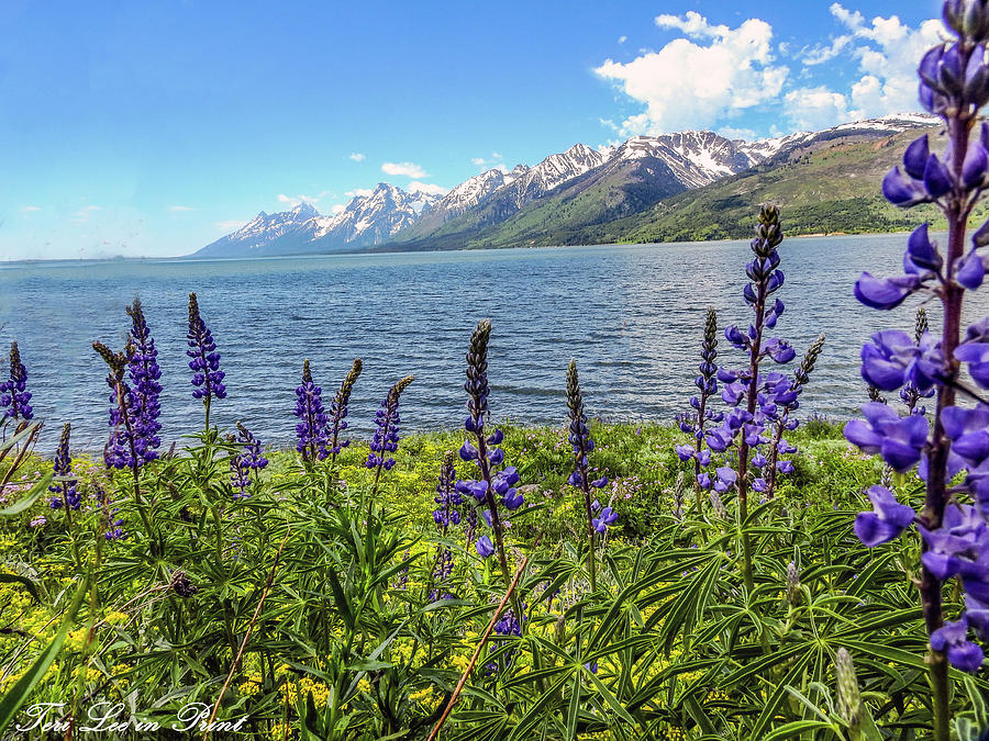 Lupines at the Lake by Teri Lee