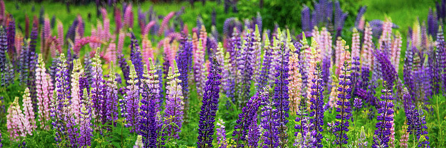 Lupines Panoramic by Tim Kirchoff