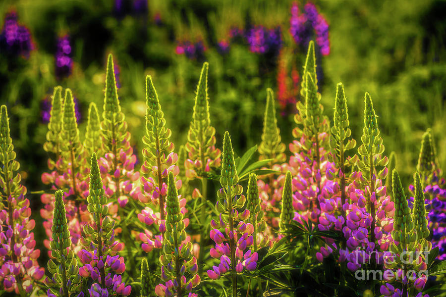 Lupines Photograph