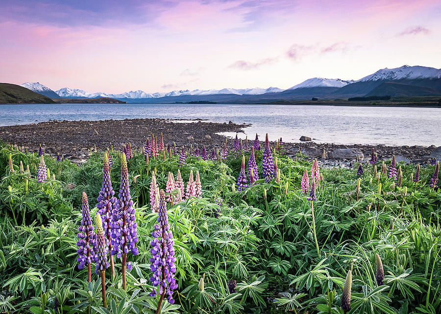 Colourful Sunrise With Lupins In New Zealands Lake Tekapo by Peter Kolejak