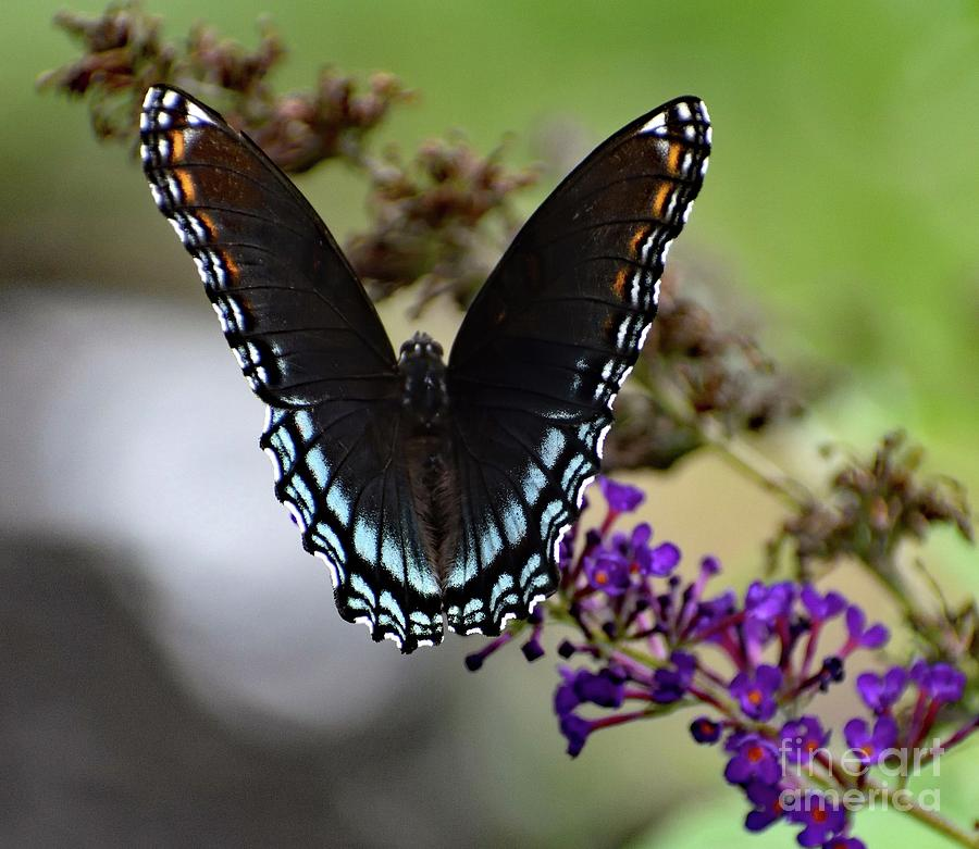 Artwork Photograph - Luxurious Red-spotted Purple by Cindy Treger