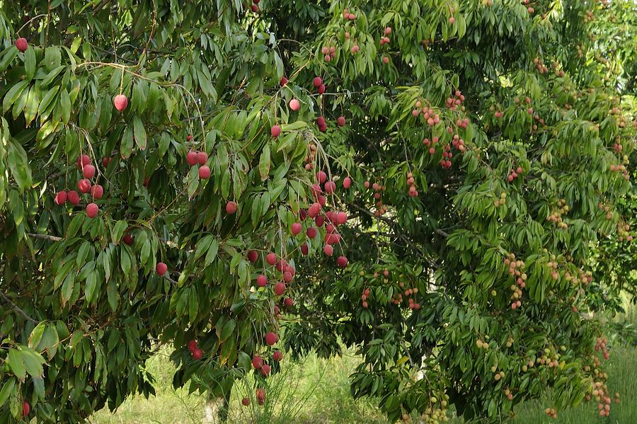 Lychee Tree with fruit by Bradford Martin