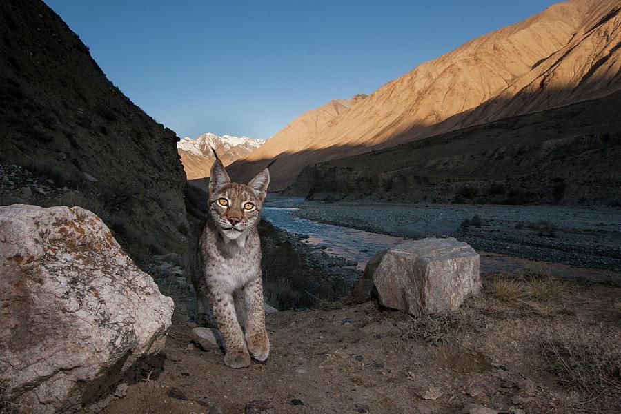 Lynx Along Uchkul River, Kyrgyzstan Photograph by Sebastian Kennerknecht