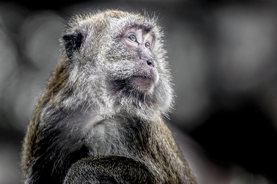 Macaque - Looking Back by Ron Pate