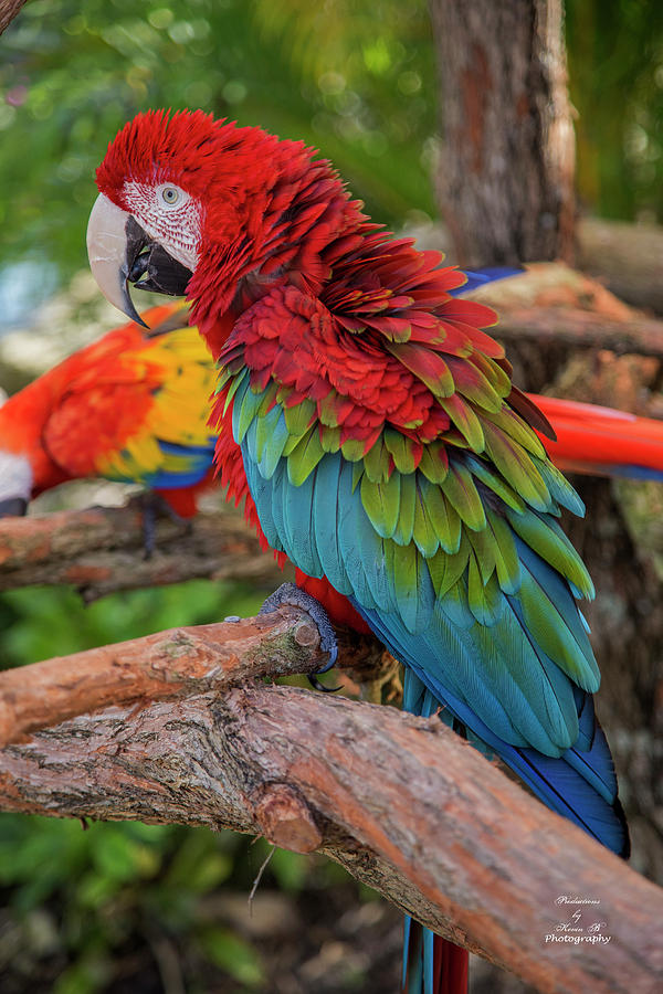 Macaw by Kevin Banker
