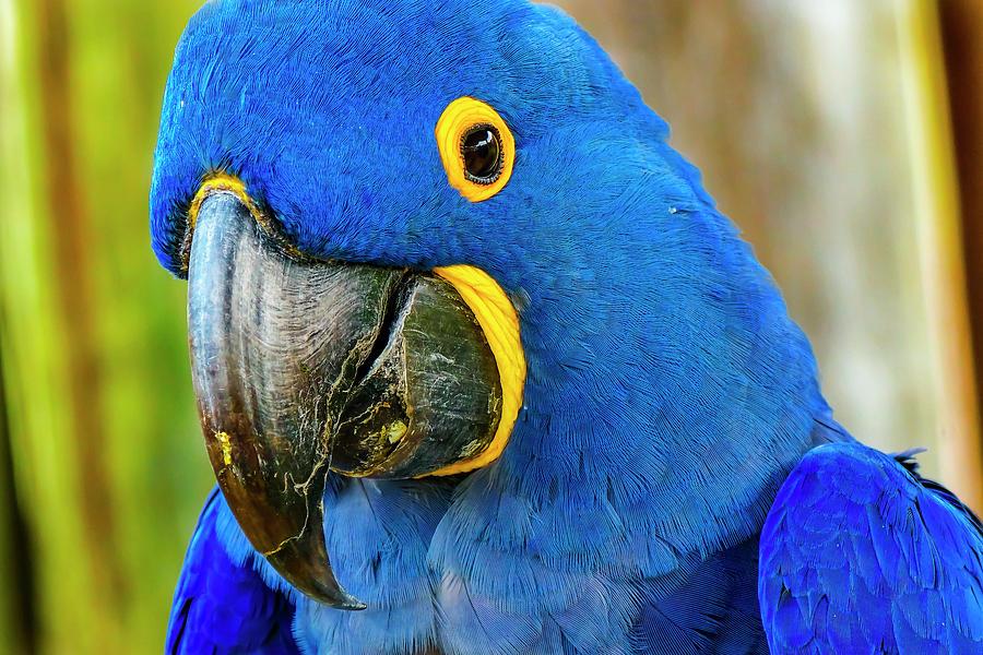 Beak Photograph - Macaw Parrot (ara Ararauna by William Perry