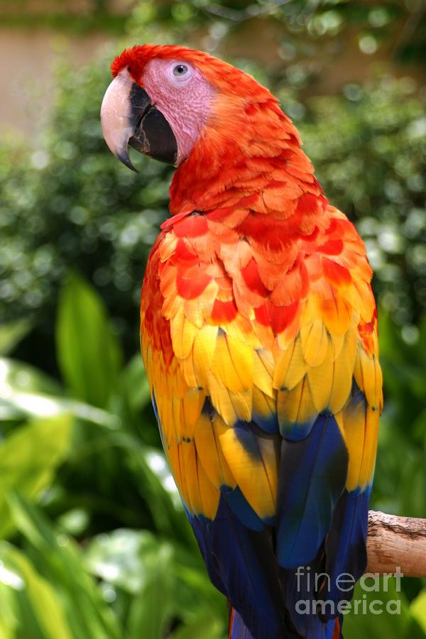 Feather Photograph - Macaw Sitting On A Branch by Paul Banton