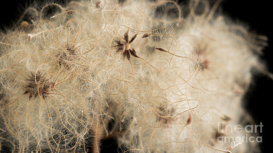 Macro Clematis Seeds by Alana Ranney