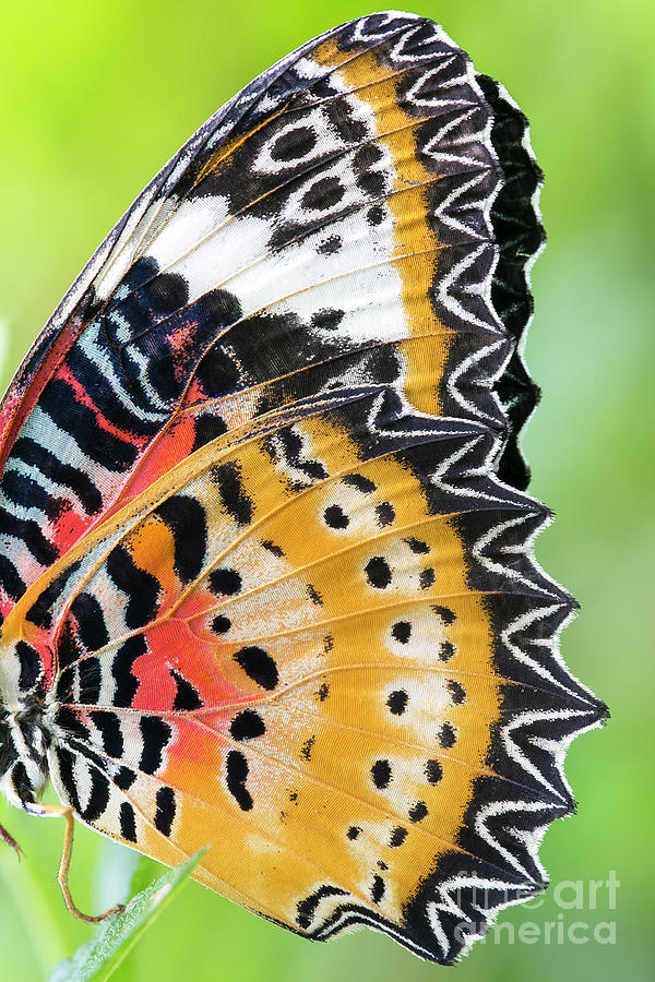 Macro Close Up Of An Monarch Butterfly Photograph by Themorningstudio