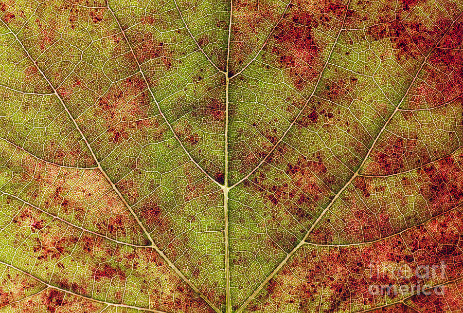 Green Photograph - Macro Detail And Veins Of An Autumn Leaf by Ehrman Photographic