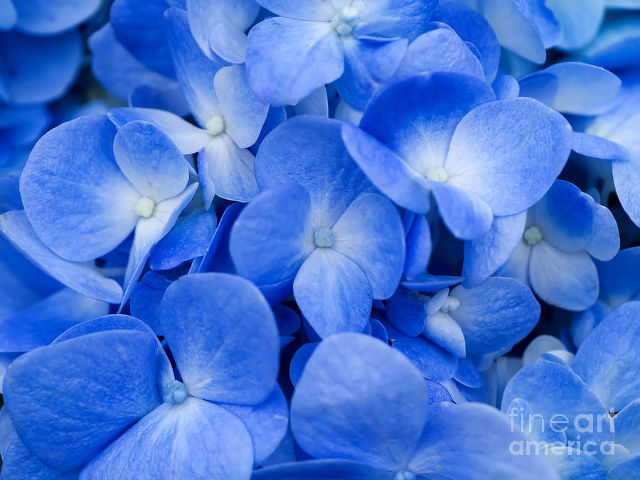 Bush Photograph - Macro Image Of Blue Hydrangea Flower by Noppharat Studio 969