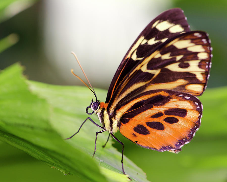 Macro Insect Common Tiger Glassywing Photograph by Elementalimaging