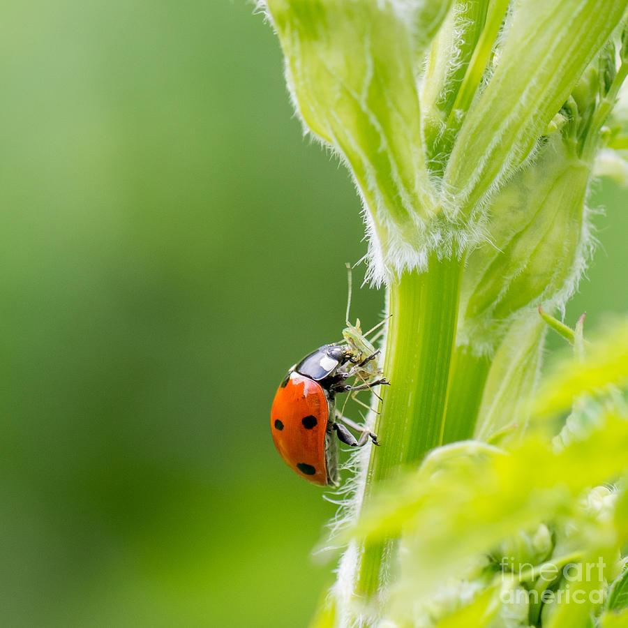 Small Photograph - Macro Of Ladybug Adalia Bipunctata by Jolanda Aalbers