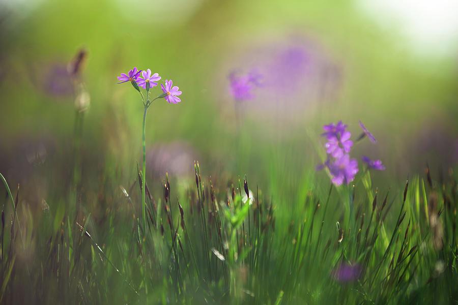 Macro Of Primula Farinosa Photograph by Ingmar Wesemann