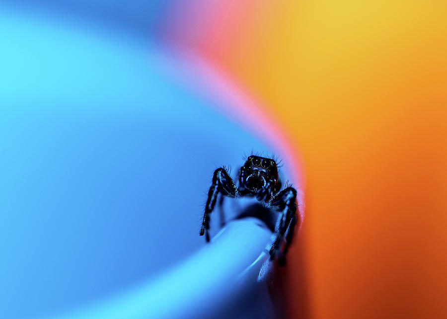 Macro Photography - Jumping Spider by Amelia Pearn