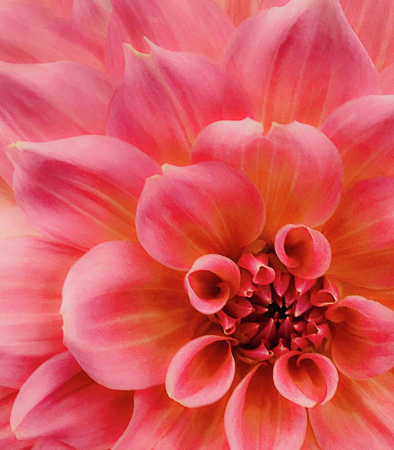 Macro Pink Dahlia  by Julie Palencia