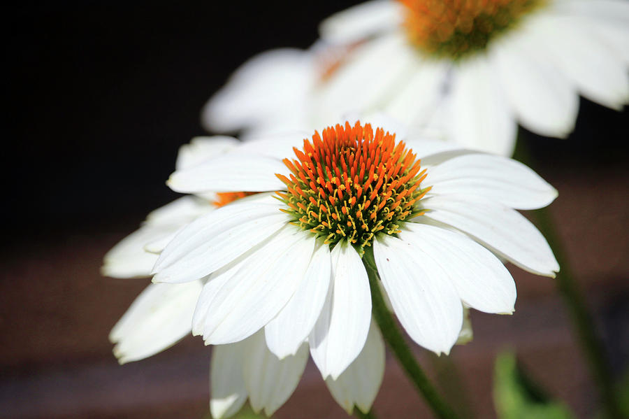 Macro White Coneflowers by Cynthia Guinn