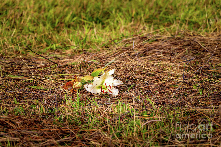 Madonna Lily On Culloden Moor Photograph